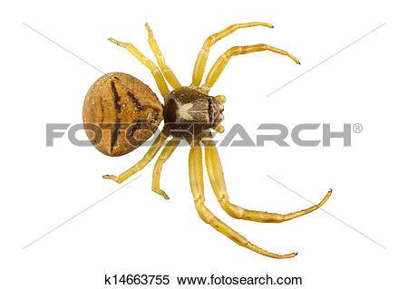 Stock Image of goldenrod crab spider species Misumena vatia.