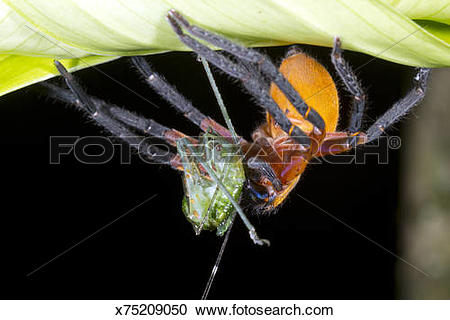 Stock Photography of Giant Crab Spider (Sadala sp. family.