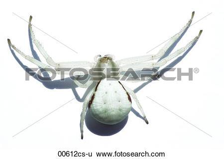 Stock Images of crab spider Misumenta vatia 00612cs.