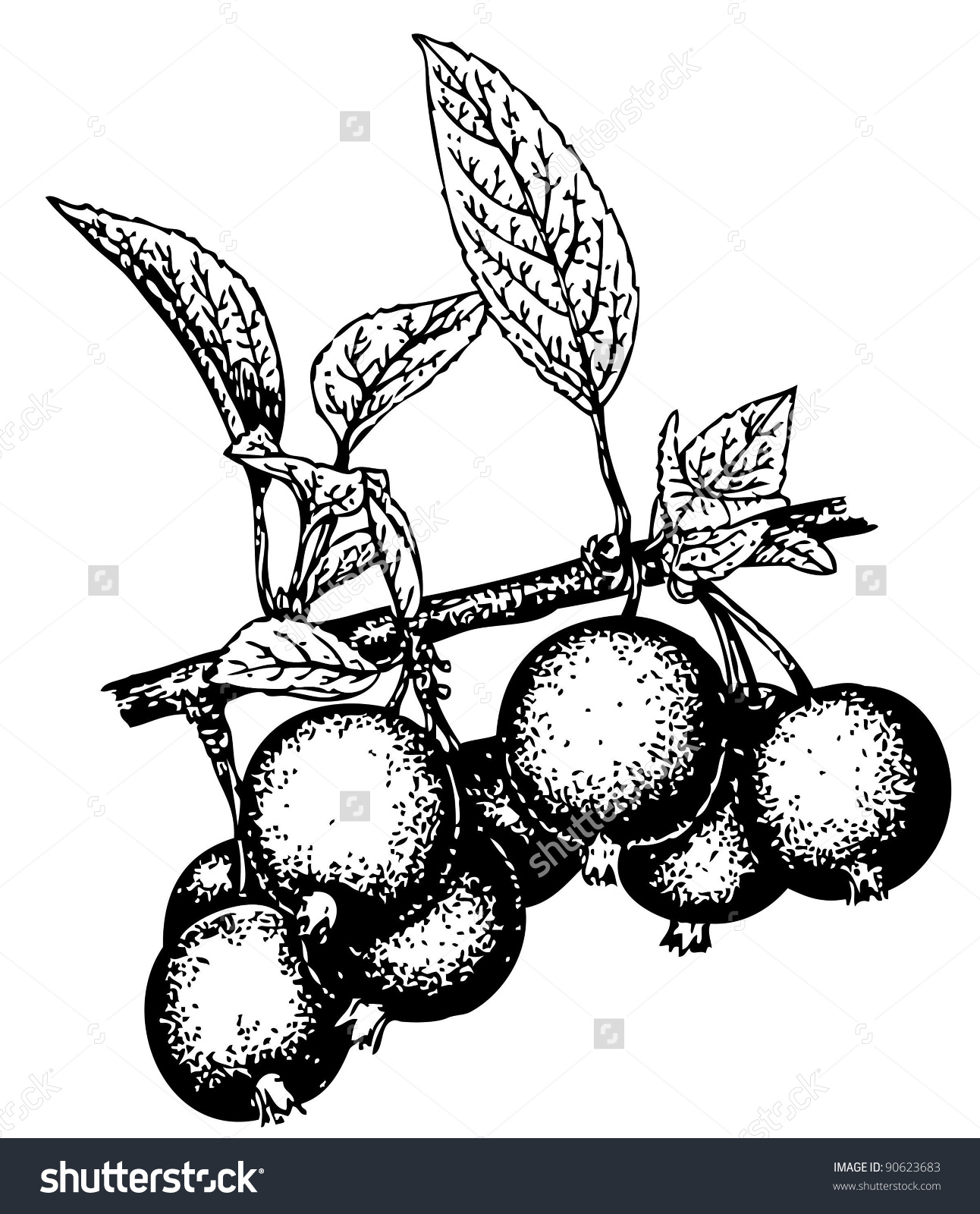 Plant Malus Prunifolia (Pear.
