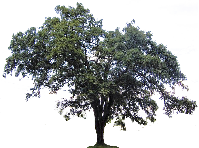 Tree clipart downloads.