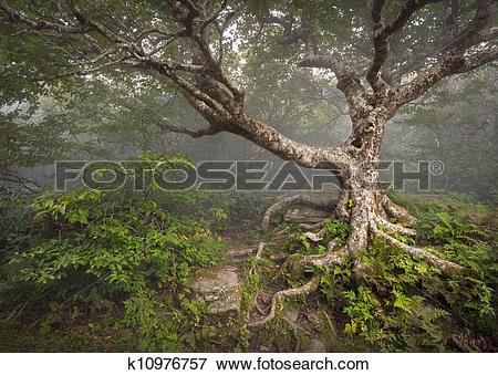 Picture of Creepy Fairytale Tree Spooky Forest Fog Appalachian NC.