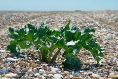 Sea Kale [Crambe Maritima ] Stock Photo.