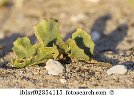 Crambe Stock Photo Images. 17 crambe royalty free pictures and.
