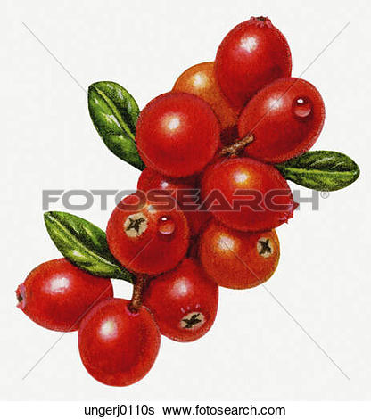 Stock Illustration of Cranberries ungerj0112s.