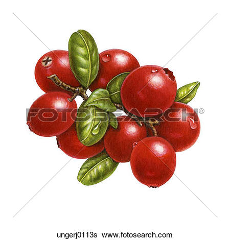 Stock Illustration of A Small Group of Cranberries ungerj0118s.