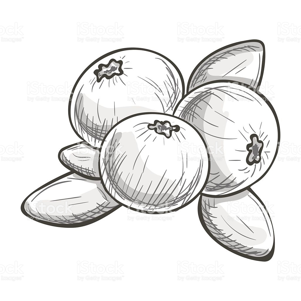 Monochrome Sketch Cranberry stock vector art 639990848.