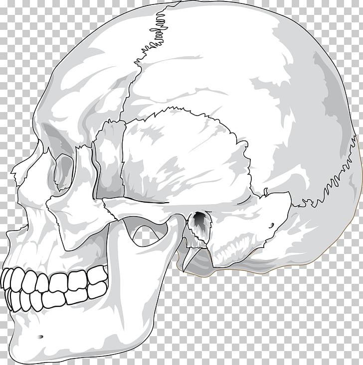 Diagrama de cráneo, cráneos PNG Clipart.