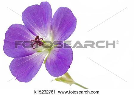 Stock Photography of Purple Cranesbill flower on white background.