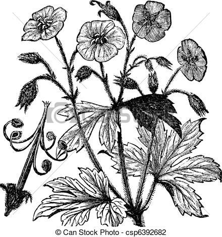 Vector Illustration of Spotted Geranium or Geranium maculatum.