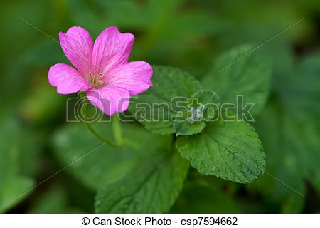 Stock Photo of Endres cranesbill with leaves (lat. Geranium.