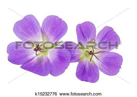 Stock Images of Purple Cranesbill flower on white background.
