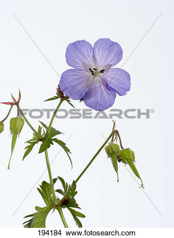 Stock Photo of Meadow Cranesbill (Geranium pratense), stem with.