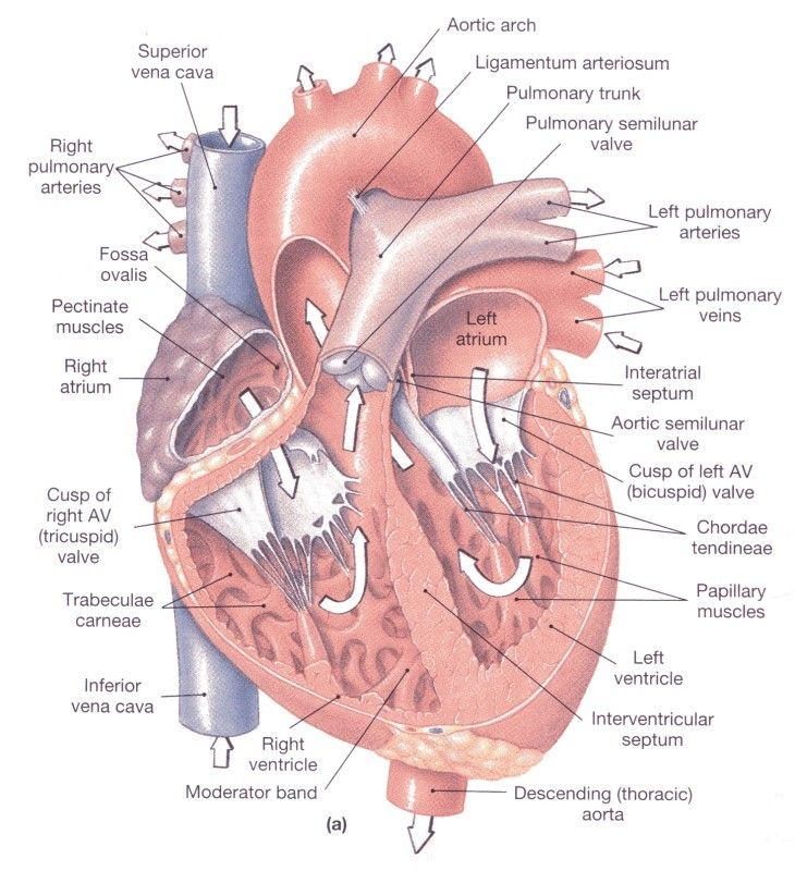 Heart Anatomy On Cranial Nerves Clip art of Heart Anatomy #7213.