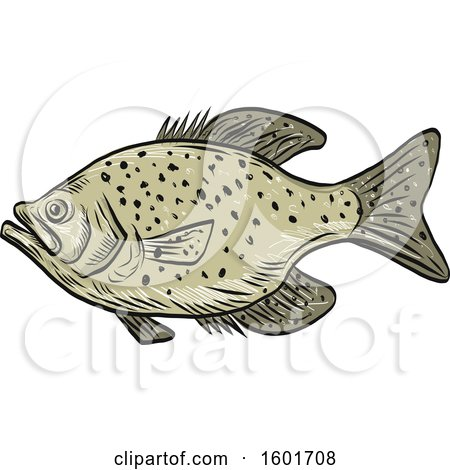 Clipart of a Sketched Crappie Fish Mascot.