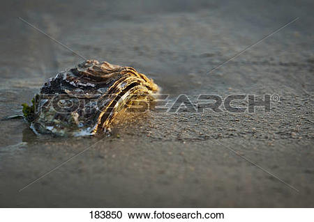 Stock Photography of Pacific Oyster (Crassostrea gigas) at low.