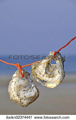 """Picture of """"Two seashells, Pacific oysters (Crassostrea gigas."""