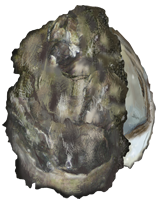 Oyster Clip Art Download.