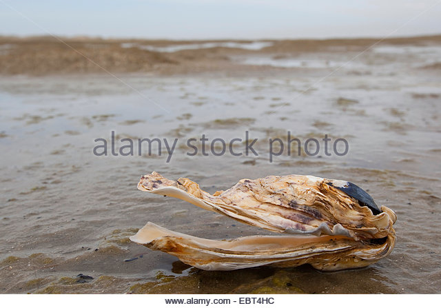 Japanese Oysters Stock Photos & Japanese Oysters Stock Images.