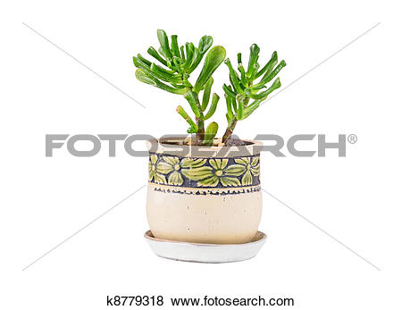 Stock Illustration of Crassula helmsii Kirk Cockayne (recurva.