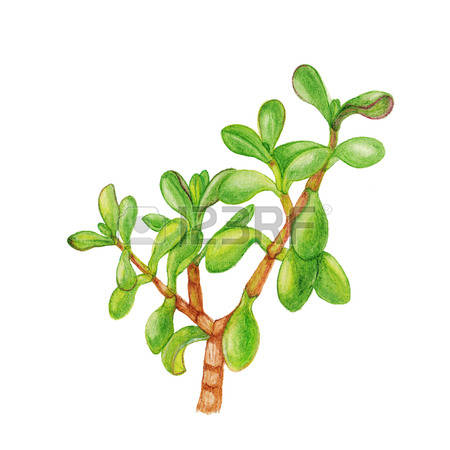 57 Crassula Stock Illustrations, Cliparts And Royalty Free.