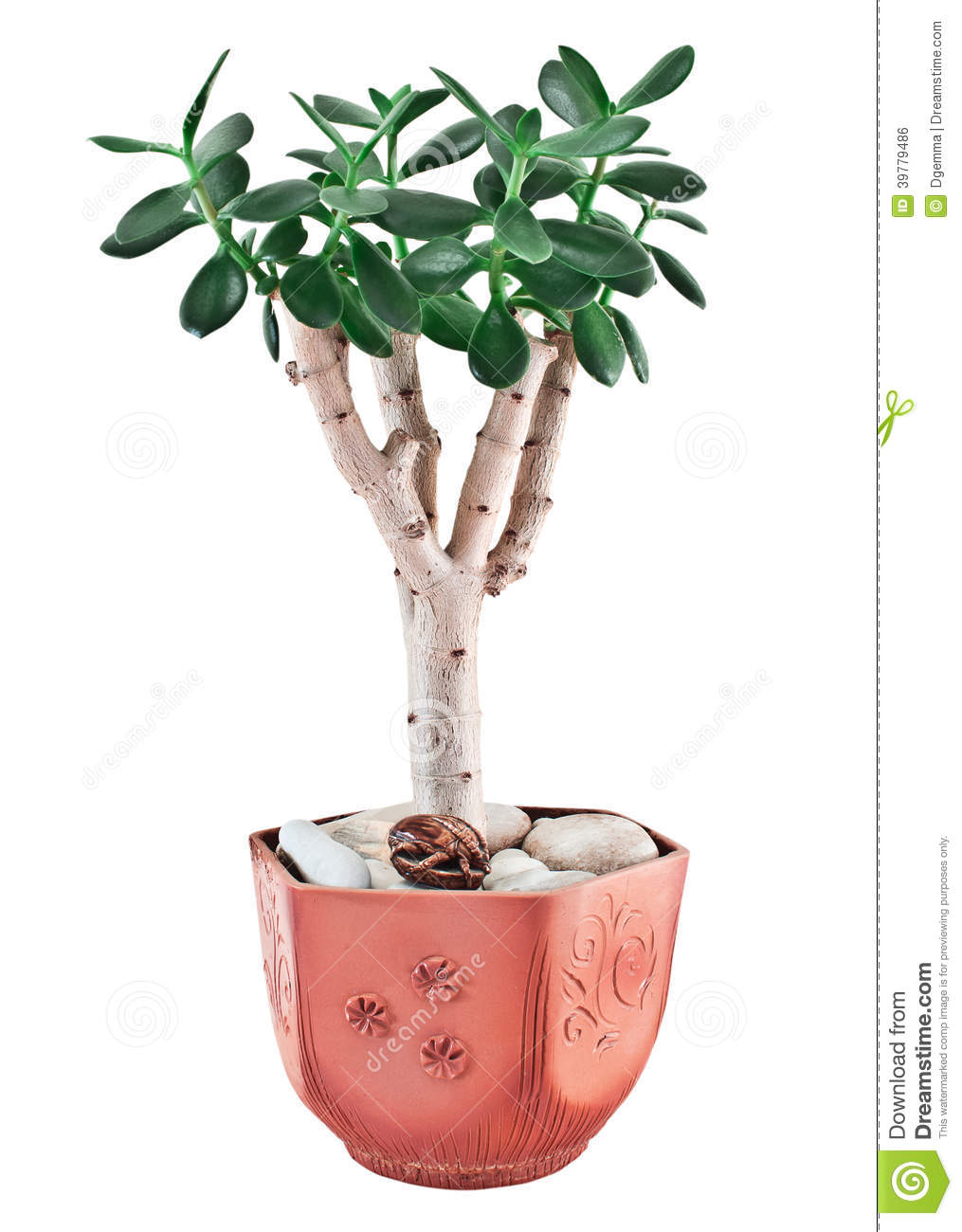 Crassula Ovata Or Jade Plant In Flower Pot Stock Photo.