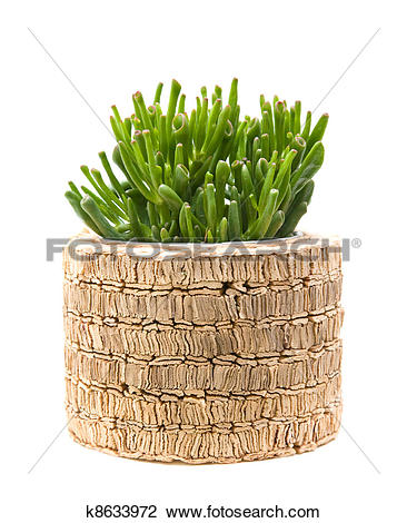 Stock Photo of succulent crassula plant with tubular leaves; in.