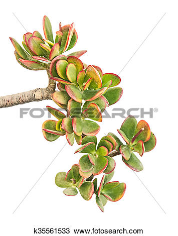 Stock Photo of Branch of Crassula ovata ( jade plant) k35561533.