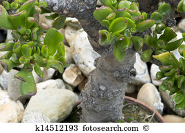Crassula ovata Stock Photos and Images. 84 crassula ovata pictures.