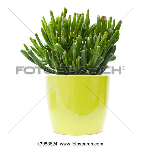 Stock Photo of succulent crassula plant with tubular leaves, in.