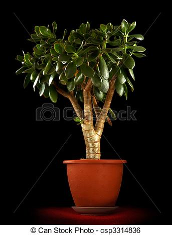 Stock Image of Crassula ovata.