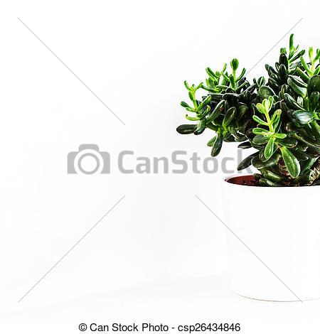 Stock Photo of Houseplant Crassula or Money tree in a white pot.
