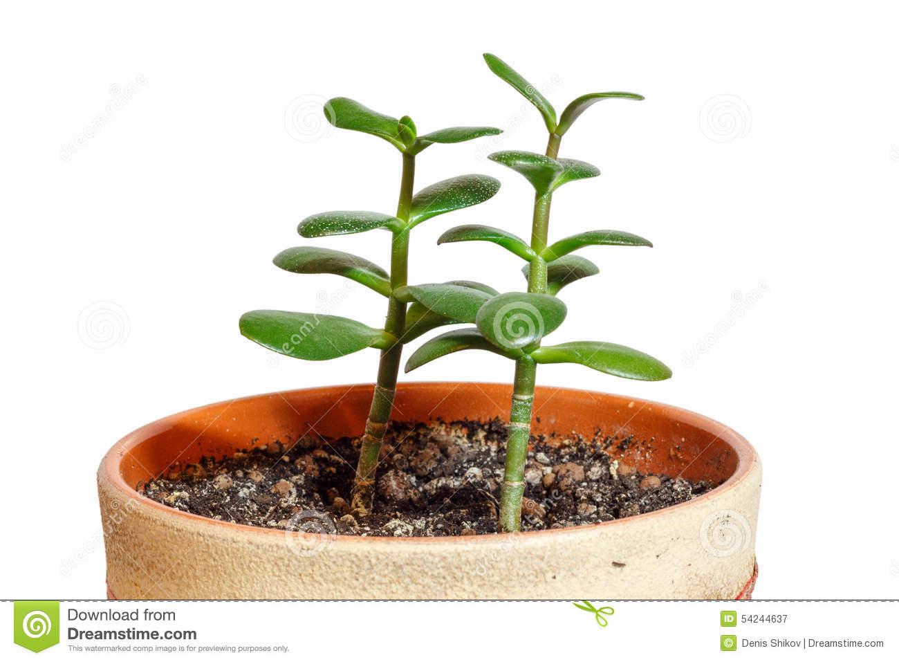 Crassula Ovata Or Jade Plant In Flower Pot Stock Photo.