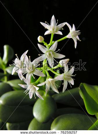 Jade Plant Banco de imágenes. Fotos y vectores libres de derechos.