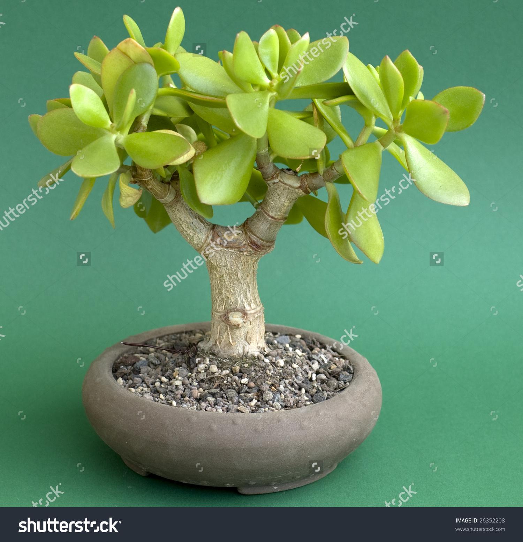 Crassula Ovata Bonsai Stock Photo 26352208.