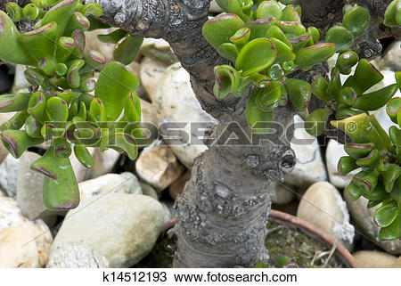 Stock Photo of Jade plant (Crassula ovata) in a pot as bonsai.