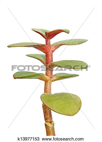 Stock Photo of Monetary tree crassula ovata taken closeup.