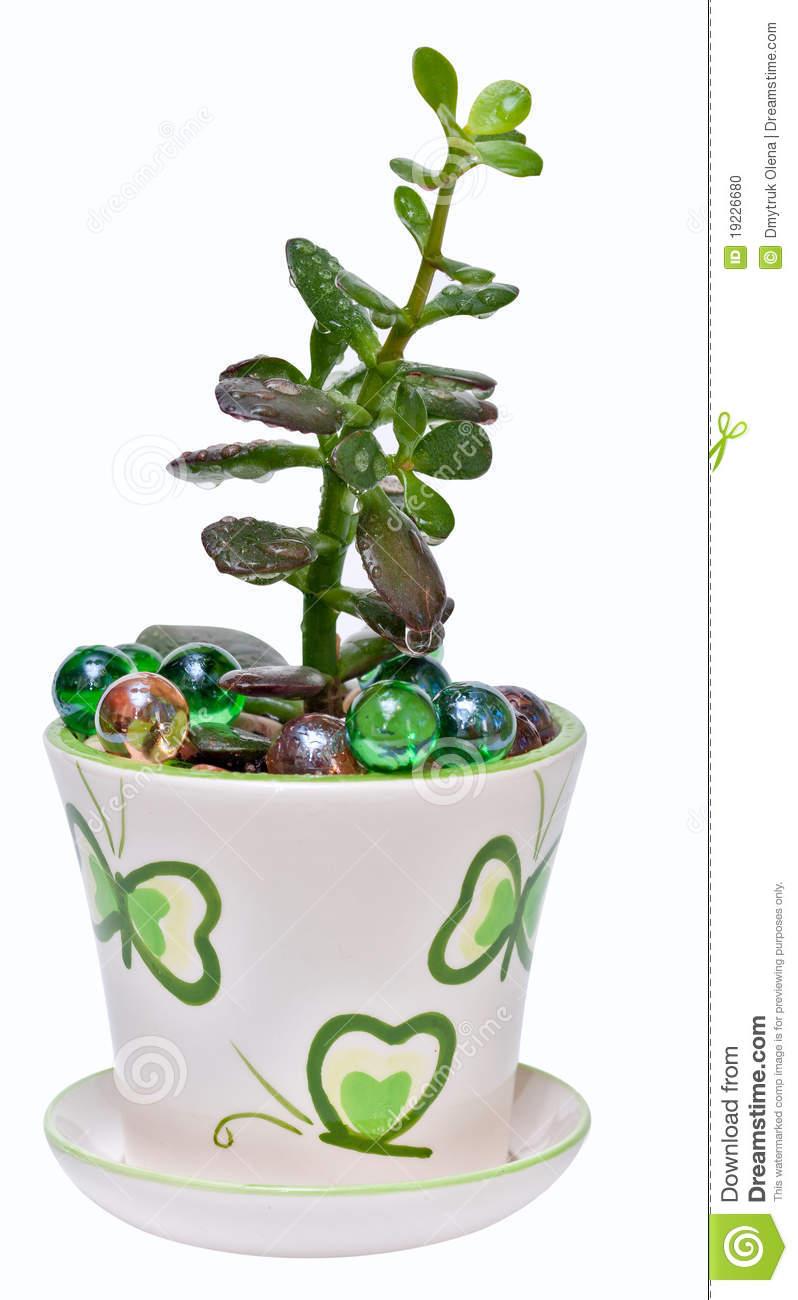 Jade Plant (Crassula Ovata), Isolated Stock Photo.