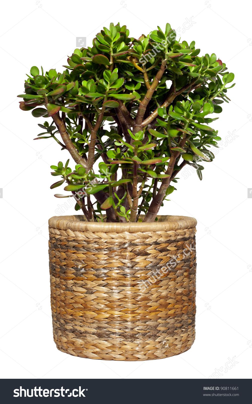 Dollar Plant Crassula Ovata Known Jade Stock Photo 90811661.