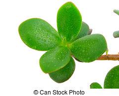 Picture of Dollar plant (Crassula ovata).