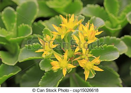 Stock Photography of Crassulaceae plants in the plant, closeup of.
