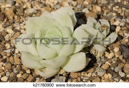 Stock Photography of Echeveria Alba, Crassulaceae k21780900.