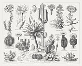 Crassulaceae Clip Art, Vector Images & Illustrations.