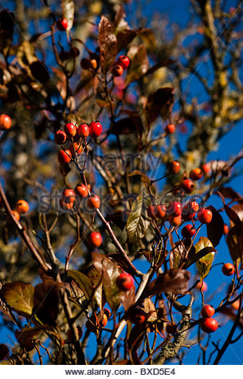 Crataegus Carrierei Stock Photos & Crataegus Carrierei Stock.