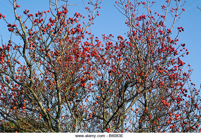 Crataegus X Lavallei Stock Photos & Crataegus X Lavallei Stock.
