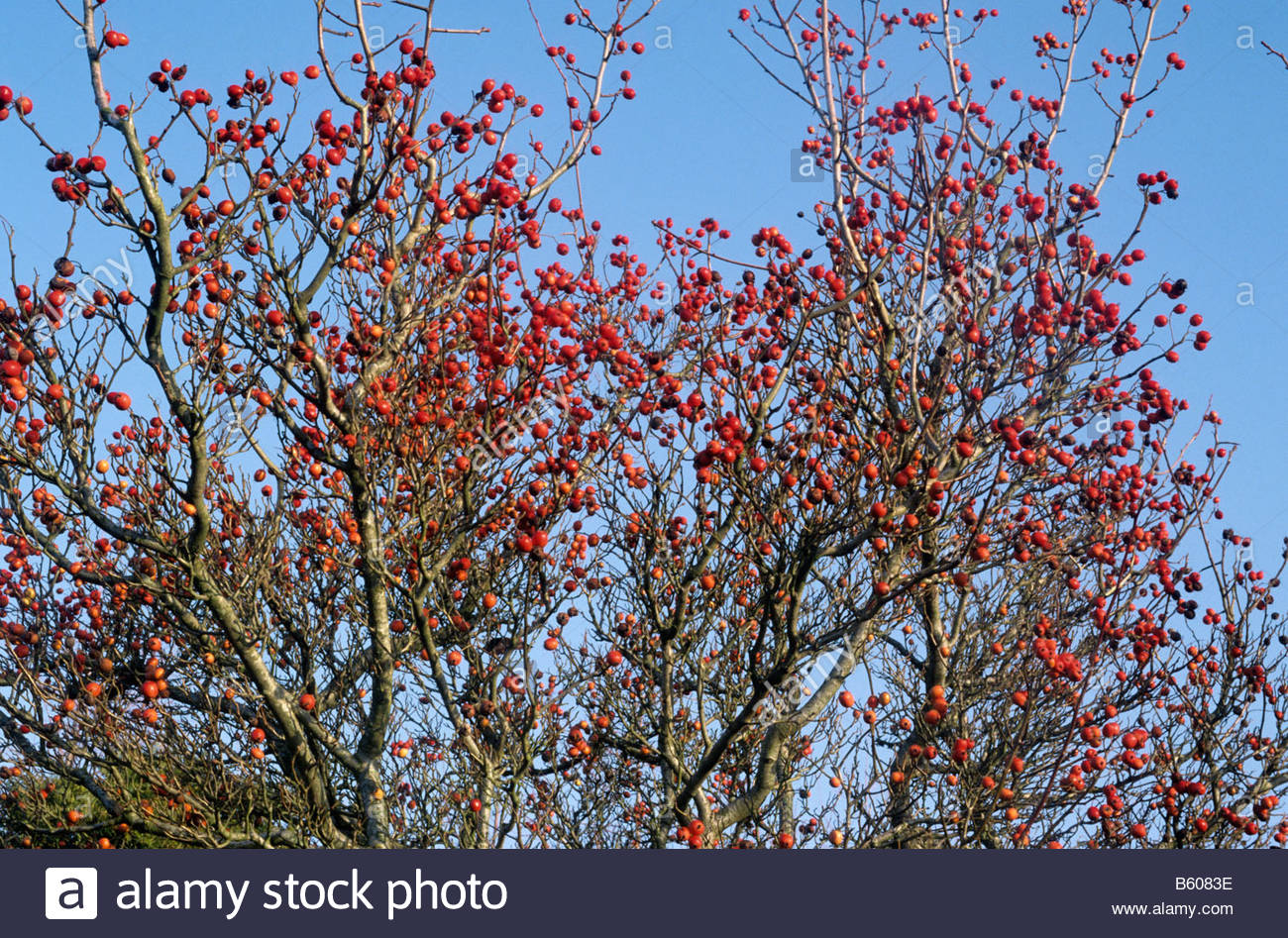 Crataegus X Lavallei Carrierei Stock Photo, Royalty Free Image.