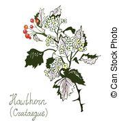 Crataegus Stock Illustration Images. 21 Crataegus illustrations.