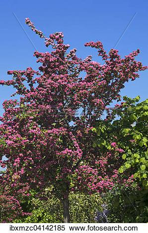 Stock Image of Blossoming Midland Hawthorn (Crataegus laevigata.