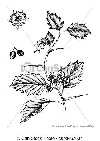 Stock Illustrations of Hawthorn (Crataegus monogyna) csp8467607.