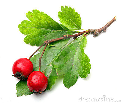 Crataegus Stock Photos, Images, & Pictures.